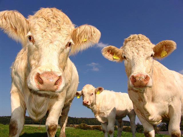 écornage de bovins